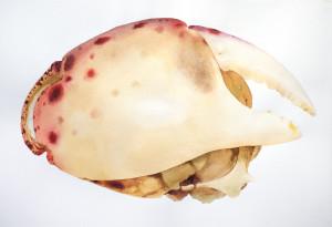 Crab #5 crop